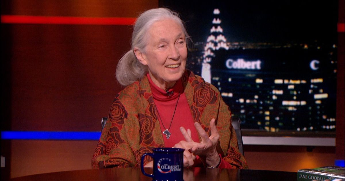 Jane Goodall The Colbert Report Video Clip Comedy Central